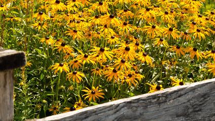 Gelber Sonnenhut - Rudbeckia fulgida