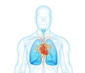 X-ray man front view. Heart, lungs, skeleton, skin on white background.