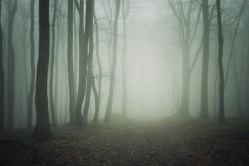 Path through misty forest. Mysterious atmosphere with green fog between trees