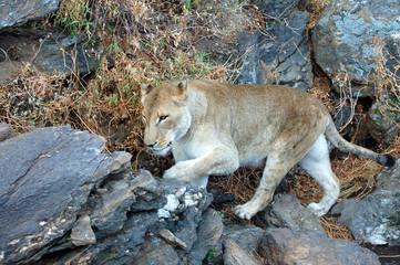 Amazing Lion in Namibia