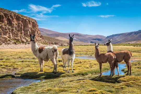 Llamas in Bolivia