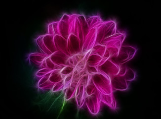 Neon silhouette of chrysanthemum flower on a black background. Image processed with the fractals. The purple flower
