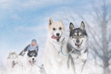 Winter sled dog race in the wonderful winter landscape in the ba
