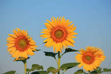 Yellow sunflowers and blue sky background