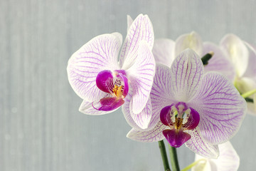 colorful phalaenopsis orchids branch