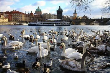 Swans near city center in Prague