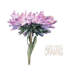 Illustration with spring flower drawn by hand with colored pencils. Pencil drawing. Floral element for design