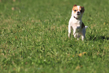 chihuahua running in the grass