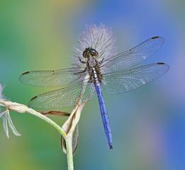 Dragonfly Orthetrum chrysostigma (male) on a plant