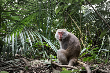 Formosan macaque in jungle. One kind of taiwan endemic species