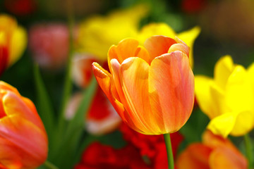 Beautiful spring tulip flowers in colorful garden