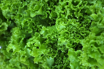 Fresh raw green lettuce leaves, close up texture background. Thai vegetable ingredient