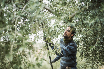 Spain, man using stick for olive harvest