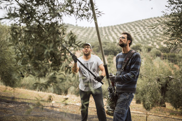 Spain, two men using vibrator and stick for olive harvest