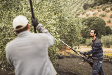 Spain, man using vibrator for olive harvest