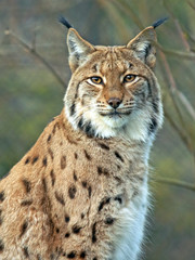 Papiers peints Lynx Portrait of beautiful Eurasian Lynx Cat.