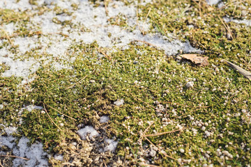 Moss and winter snow