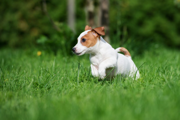 adorable jack russell terrier puppy jumping on grass