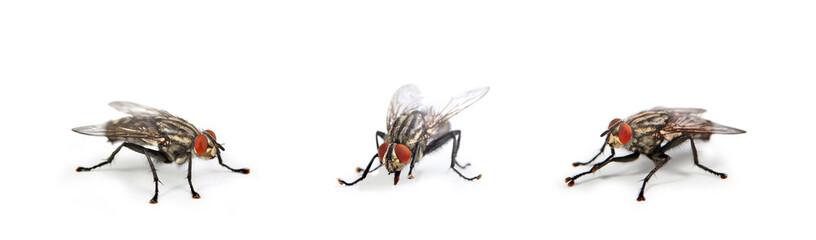 mouche domestique