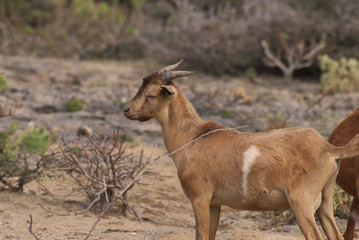 Young Pregnant Goat with Short Horns