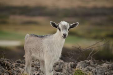 Adorable Baby Goat in Aruba