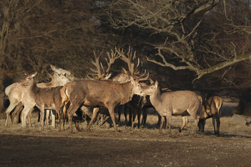 Red Deer Stag and Hind Eating Hay in Dyrehaven near Copenhagen