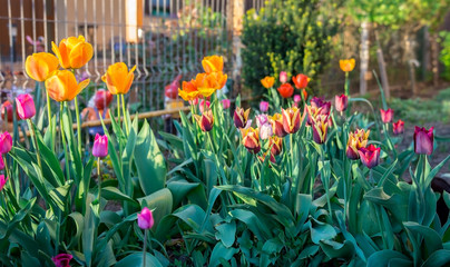 Multicolored tulips blooming spring in the garden