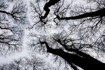 Winter trees, bare of leaves, seen from below.