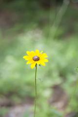 Black-Eyed Susan Sunflower