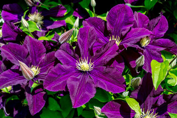Many large purple clematis flowers on a background of green leaves. Close-up.