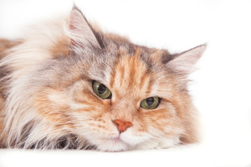 Close-up Siberian cat on white background. Cat lying