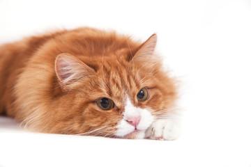 Red Siberian cat on white background. Cat lying