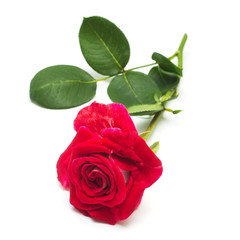 Beautiful flower red rose isolated on white background. Wedding