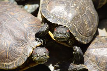 Pair of red eared turtles