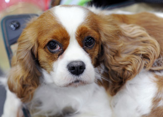 Cavalier King Charles Spaniel at dog show, Moscow.