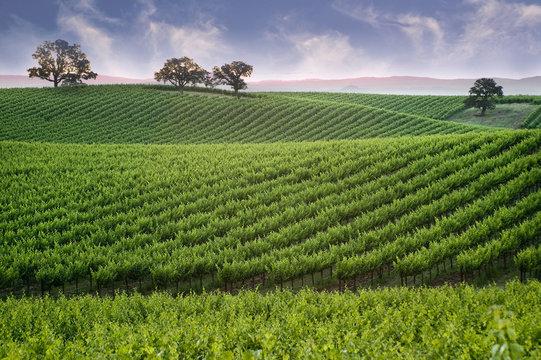Hillside Vineyard with Oak