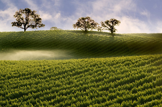 Misty Fog on Hillside Vineyard with Oak