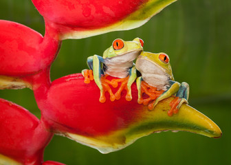 Two Red-Eyed Tree Frog Resting on a Heliconia Flower