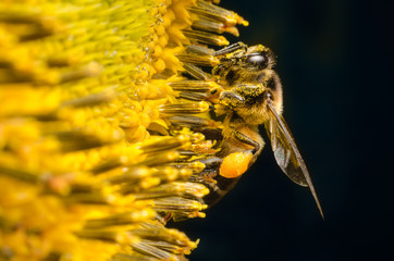 Worker bee gathering nectar from sunflowers.