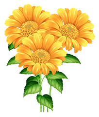 Three sunflowers on white background