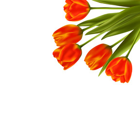 Realistic vector tulips flowers on white background for holiday design
