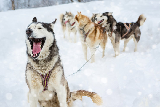 Alpha male leader harness sled dogs Laika Husky sitting  opened jaws (talking, yawning, laughing, barking). Behind a lot of plurality of dogs and sleds. Background of a severe winter snowy landscape