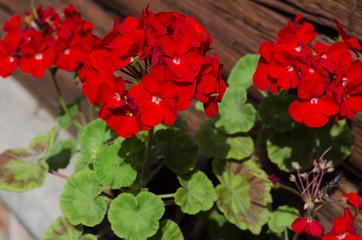 Impatiens flowers on flower bed in the garden