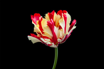 "Amazing ""Flaming parrot"" tulip , floral wallpaper"