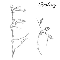 Barberry hand drawn branch vector sketch isolated on white background, line art berry, Natural spicy herbs, graphic doodle cooking ingredient for design package tea, cosmetic, medicine, greeting card