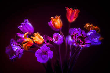 Tulips on a black background. Neon colors in the dark.
