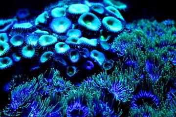Soft focused cyan blue coral polyps in aquarium. Seabottom background.