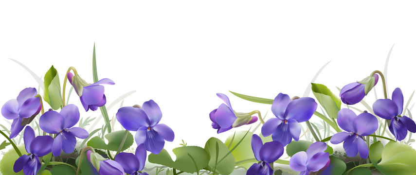 Viola odorata. Sweet violets on transparent background - hand drawn vector illustration in realistic style.