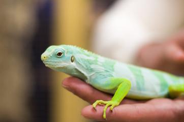 Small green iguana male laying on human hand