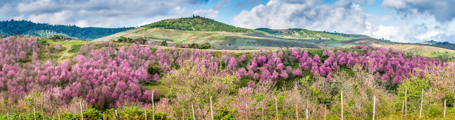 Panoramic view of Group of Wild Himalayan Cherry